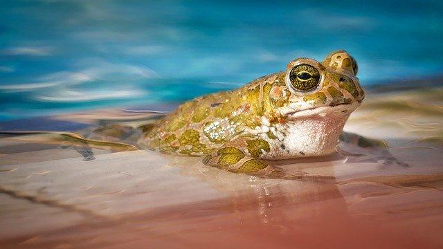 žába v bazénu